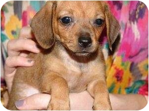 Dachshund/Chihuahua Mix Puppy for adoption in Corpus Christi, Texas - Taylor