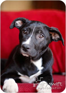 Pit Bull Terrier Mix Puppy for adoption in Clarksburg, Maryland - Joey