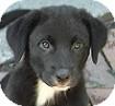 Labrador Retriever/Golden Retriever Mix Puppy for adoption in Hamilton, Ontario - Puppies