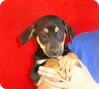 German Shepherd Dog/Labrador Retriever Mix Puppy for adoption in Oviedo, Florida - Lolly