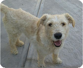 Terrier (Unknown Type, Medium)/Wirehaired Fox Terrier Mix Dog for adoption in El Cajon, California - ROBIN
