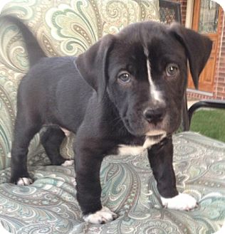 Labrador Retriever/Boxer Mix Puppy for adoption in Fort Worth, Texas - TANK