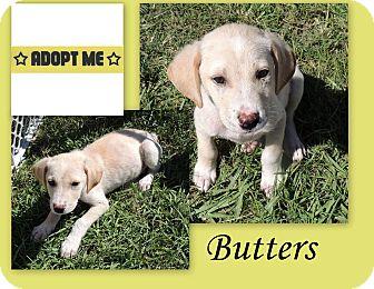 Labrador Retriever Mix Puppy for adoption in Hammond, Louisiana - Butters