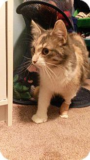 Calico Cat for adoption in Flushing, Michigan - Amadala