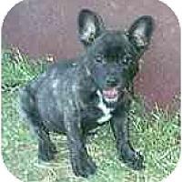 Adopt A Pet :: Bobcat - dewey, AZ