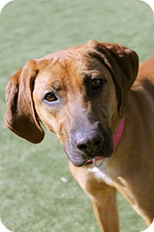 Redbone Coonhound/Rhodesian Ridgeback Mix Dog for adoption in Buffalo, New York - Biscuit: 1 year