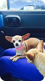 Chihuahua Mix Dog for adoption in Las Vegas, Nevada - Crickett