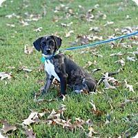 Adopt A Pet :: Finn - Pocahontas, AR