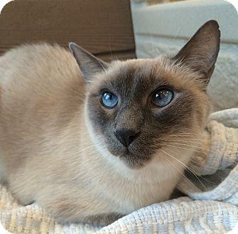 Siamese Cat for adoption in Palatine, Illinois - Jasper