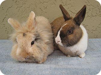 Lionhead for adoption in Bonita, California - Nala & Zazu