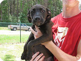 Labrador Retriever Mix Puppy for adoption in Groton, Massachusetts - Louise