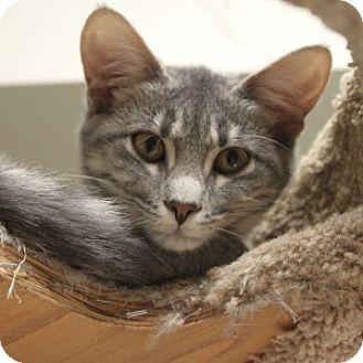 Domestic Shorthair Kitten for adoption in Naperville, Illinois - Sadie