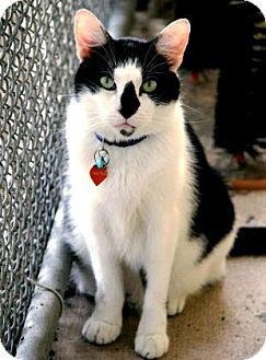 Domestic Shorthair Cat for adoption in Bradenton, Florida - Pistol Pete