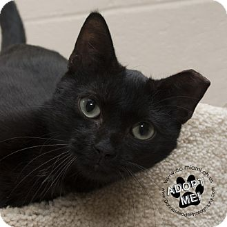 Domestic Shorthair Cat for adoption in Troy, Ohio - Dolly