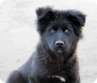 Newfoundland/Husky Mix Puppy for adoption in Liberty Center, Ohio - Zion