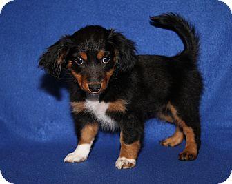 Chihuahua/Beagle Mix Puppy for adoption in Marietta, Ohio - Dimple