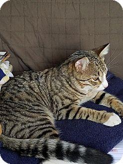 Domestic Shorthair Cat for adoption in Vancouver, Washington - Floki