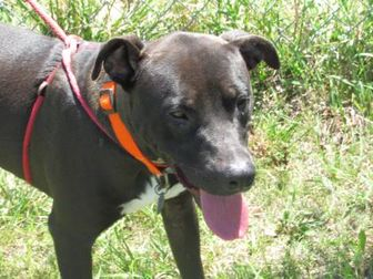 American Pit Bull Terrier Mix Dog for adoption in Winfield, Kansas - Double Bubble