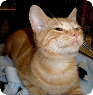 Domestic Mediumhair Cat for adoption in Yorba Linda, California - Ellie May