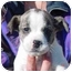 Photo 2 - Terrier (Unknown Type, Medium)/Dalmatian Mix Dog for adoption in West Los Angeles, California - Davey