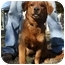 Photo 2 - Golden Retriever Mix Dog for adoption in Harrisonburg, Virginia - Samson