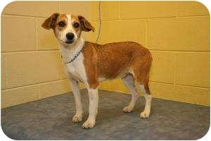 German Shepherd Dog/Hound (Unknown Type) Mix Dog for adoption in Clarksville, Tennessee - Patty