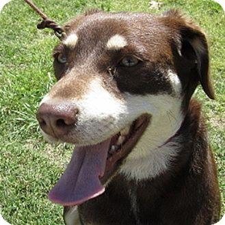 Labrador Retriever/Husky Mix Dog for adoption in Weatherford, Texas - Cocoa