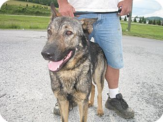 German Shepherd Dog Dog for adoption in Greeneville, Tennessee - Major