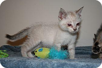 Siamese Kitten for adoption in Santa Rosa, California - Remington