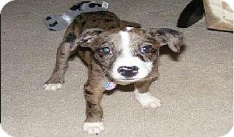 Catahoula Leopard Dog Mix Puppy for adoption in Palmyra, Wisconsin - MAGGIE