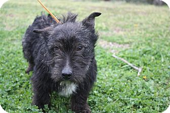 Scottie, Scottish Terrier Mix Dog for adoption in East Hartford, Connecticut - Betsy ADOPTION PENDING