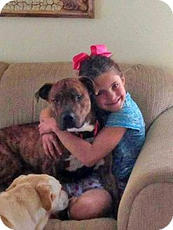 Mastiff/American Staffordshire Terrier Mix Dog for adoption in Long Beach, New York - Tiger