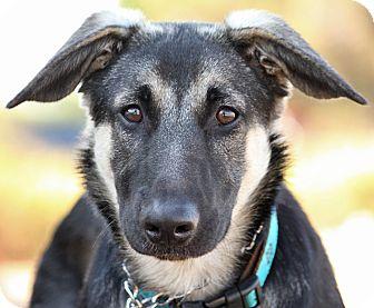 German Shepherd Dog Mix Puppy for adoption in Los Angeles, California - Max von Leon