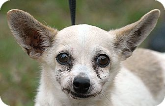 Chihuahua Mix Dog for adoption in New Haven, Connecticut - MALEN