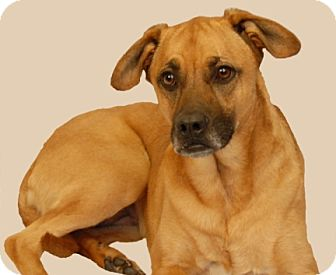 Boxer/Shepherd (Unknown Type) Mix Dog for adoption in Newland, North Carolina - Sheba *Trained