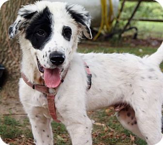 Great Pyrenees Mix Puppy for adoption in Salem, New Hampshire - PUPPY QUADE