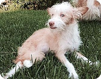 Terrier (Unknown Type, Small) Mix Puppy for adoption in Encino, California - Marley