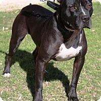 Adopt A Pet :: Orbison - Gilbert, AZ