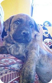 German Shepherd Dog/Labrador Retriever Mix Puppy for adoption in Santee, California - Chewy