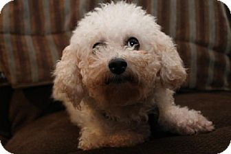 Bichon Frise Dog for adoption in London, Ontario - Poppy