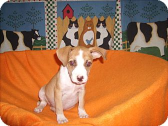 Terrier (Unknown Type, Medium) Mix Puppy for adoption in Newburgh, Indiana - Carley