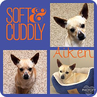 Chihuahua Mix Dog for adoption in Snyder, Texas - Aiken