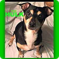 Miniature Pinscher/Chihuahua Mix Dog for adoption in Wantagh, New York - Hulk