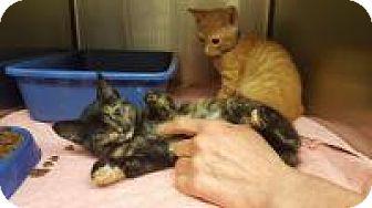 Calico Kitten for adoption in Smyrna, Georgia - Tiki