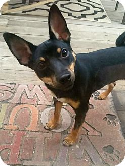 Miniature Pinscher Mix Dog for adoption in Rockford, Illinois - Rocky II