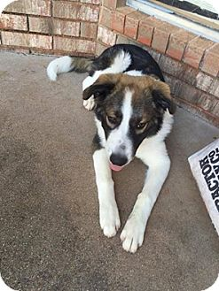 Great Pyrenees/Border Collie Mix Dog for adoption in Snyder, Texas - Jax