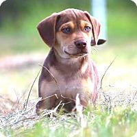 Adopt A Pet :: *Marshall - PENDING - Westport, CT