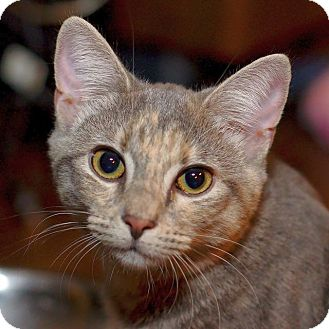 Domestic Shorthair Cat for adoption in Chattanooga, Tennessee - Tyra