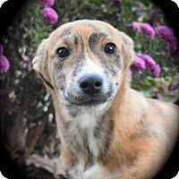 Adopt A Pet :: Pepperjack - Ijamsville, MD