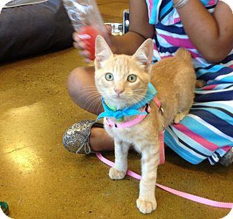 Domestic Shorthair Kitten for adoption in San Diego, California - Colo
